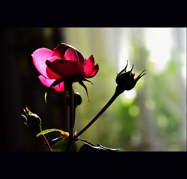 rose....with a heart.....