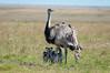 Ema (Rhea americana intermedia) - Macho com filhotes by Cláudio Dias Timm