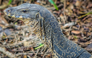 Monitor Lizard Lumpini Park | by jrattigan