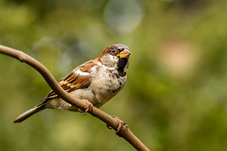 Male House Sparrow | by www.craigrogers.photography