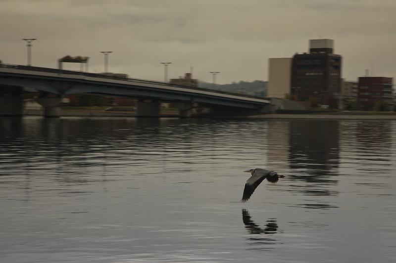 Grue du Japon sur le lac Shinji