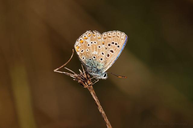 Polyommatus icarus - Argus bleu