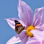 Dahlia and Indian Red Admiral