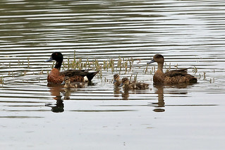 Chestnut teal family | by dmmaus