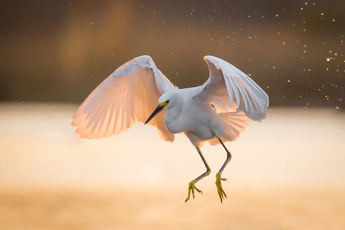 snowyegret bird flight bif sunset feeding horsepenbayou pasadena texas kayakphotography gseloff