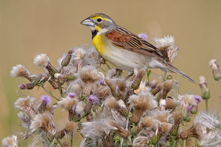 Dickcissel | by www.momentsinature.com