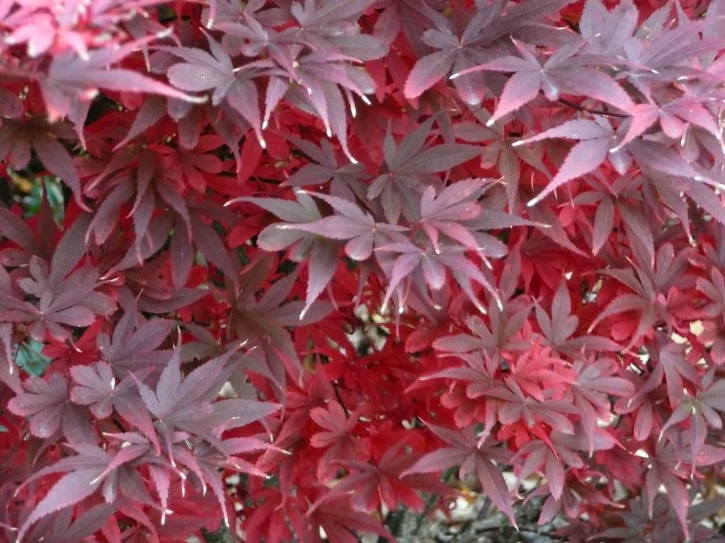 Acer Palmatum Skeeters Broom Early Fall Color