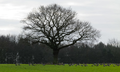 Flock of greylag geese round an oak tree