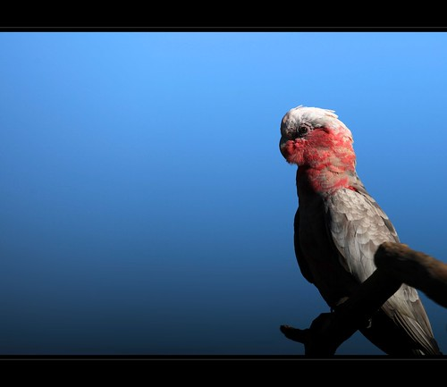 pink blue portrait detail bird birds branch sitting breast head australian feathers young blues parrot australia queensland juvenile galah cacatuaroseicapilla gleneagle 5dmarkii canon5dii