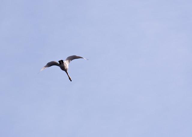 Flying_Trumpeter_Swan_2