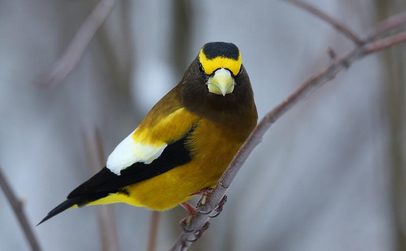 Evening Grosbeak [male]