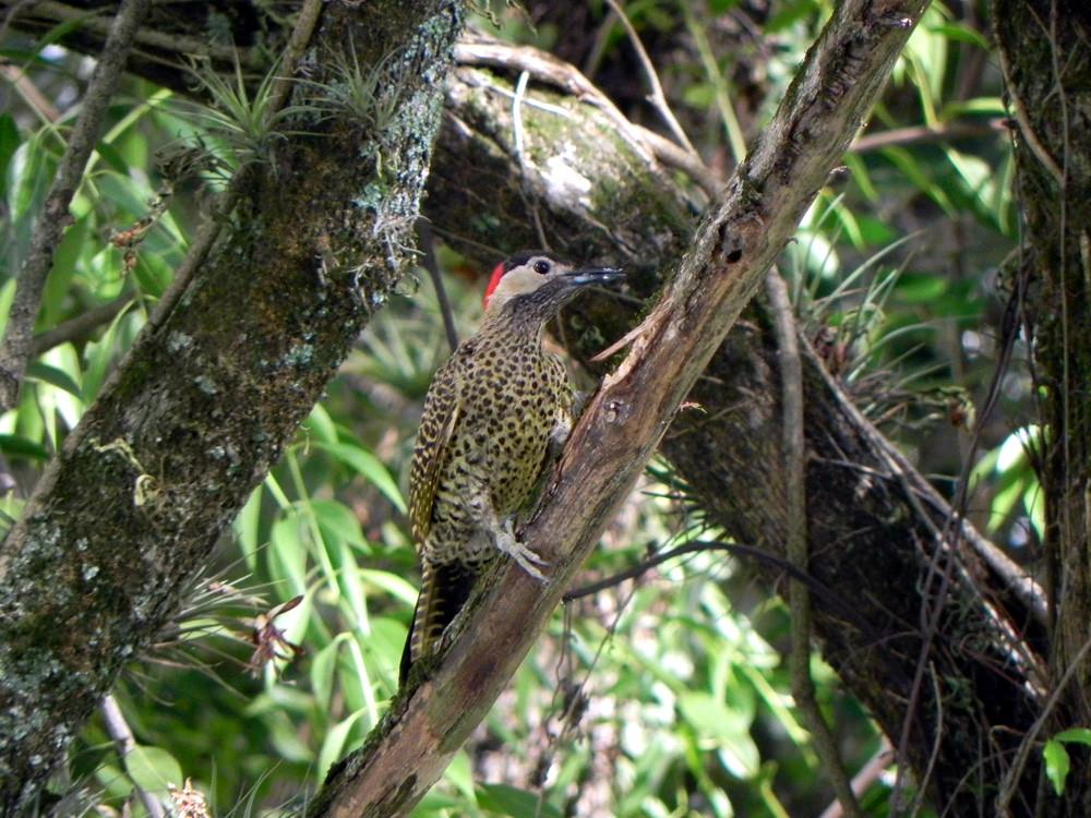 Pica-pau-verde-barrado, Green-barred Woodpecker, Colaptes melanochlorus
