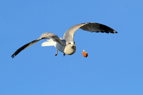 food bird gull flight drop loose larusdelawarensis fantasticnature amazingwildlifephotography ringbilldgull