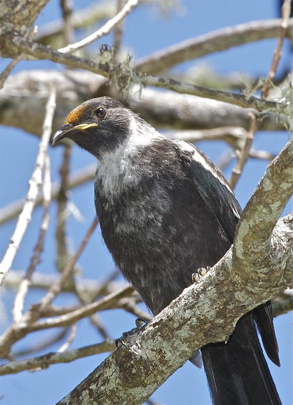 Tui (juvenile) - Prosthemadera novaeseelandiae
