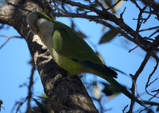 Monk Parakeet | by Mike's Birds