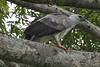 030201-IMG_1743 Harpy Eagle (Harpia harpyja) by ajmatthehiddenhouse