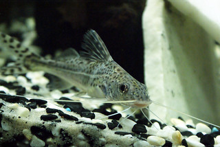 Pictus | by fishydave2012