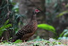 IMG_1602藍腹鷴雌鳥 Swinhoe's Pheasant, female by 賞景者 Jeff Lin