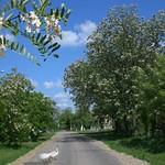 Blühende Akazienbäume in der Bahngasse vor dem Sauerländer Friedhof. Foto: Werner Gilde