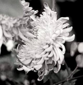Desaturated Chrysanthemum