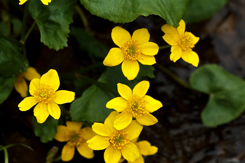 Caltha palustris (marsh marigold) | by tgpotterfield