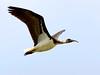 Straw-necked Ibis (Threskiornis spinicollis) by David Cook Wildlife Photography