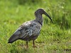 Plumbeous Ibis (Theristicus caerulescens) by PeterQQ2009