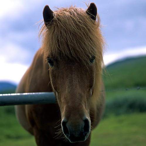 """Image titled """"Horse, Near Akureyri, Iceland."""""""