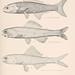 Oceanic ichthyology. v.22 atlas.
