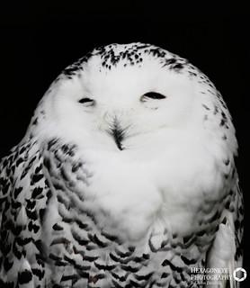 Snowy Owl | by Hexagoneye Photography