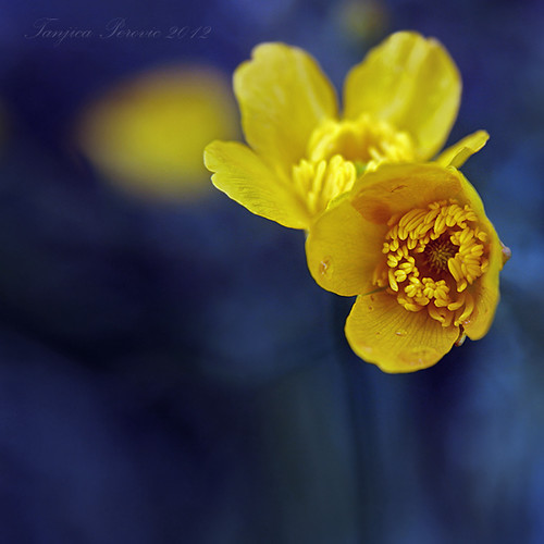 Creeping Buttercup Flowers. Tanjica Perovic Photography.