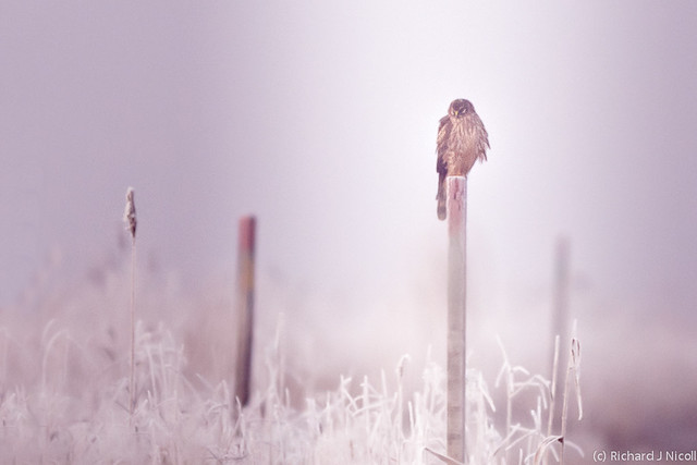 Hen Harrier (Circus cyaneus) on post in frost and fog
