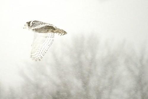 snow ontario canada bird animal flying nikon ottawa flight owl snowyowl dickbellpark d600