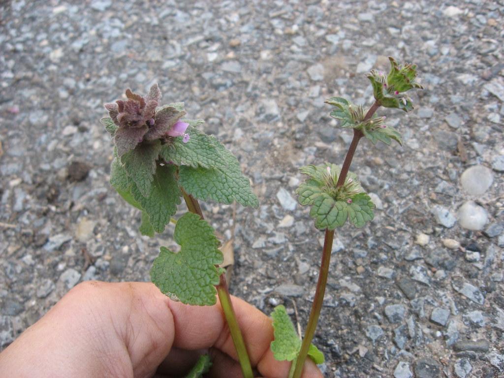 Weed of the Month: Purple Deadnettle - Brooklyn Botanic Garden