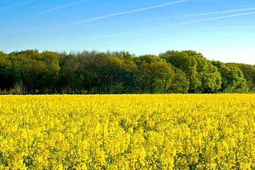 morning blue trees green field yellow gold hampshire autofocuslens smcpentaxf50mmf14 pentaxk3