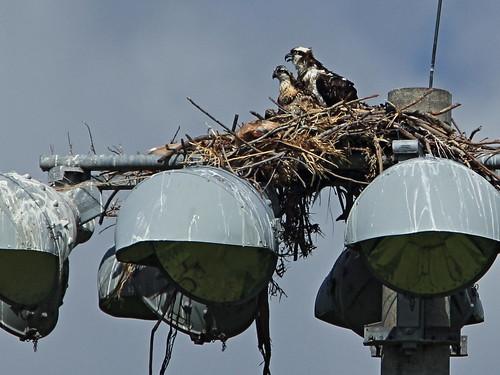 Osprey nest 20160527