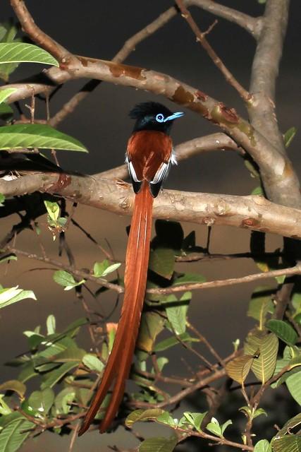 Terpsiphone viridis - African Paradise Flycatcher