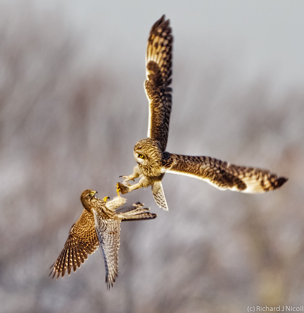 Kestrel (Falco tinnunculus) mobbing Short-eared Owl (Asio flammeus)