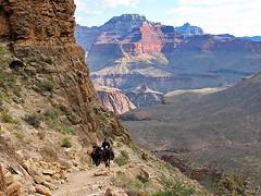 Wrangler & mules heading up South Kaibab Trail - Grand Canyon