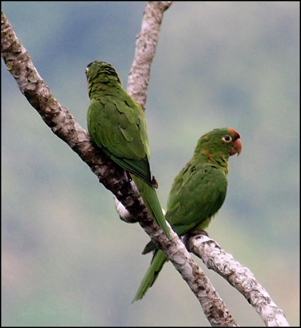 Parakeets - Crimson-fronted