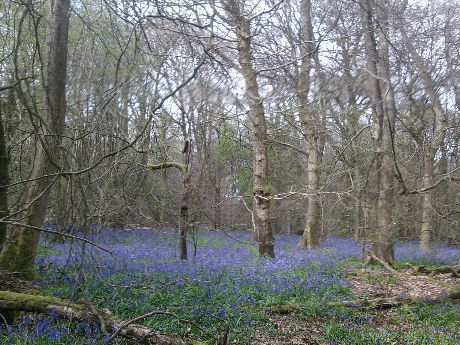 Old Simms Copse - Bluebells 2 Gomshall to Westhumble