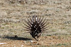 Greater Sage Grouse, Male Displaying by brad.schram