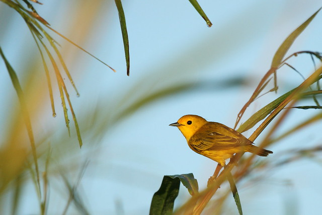 yellow warbler in the dew