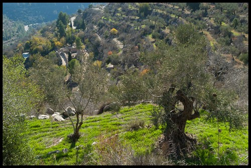 olivetree naturetrail sataf tzoba