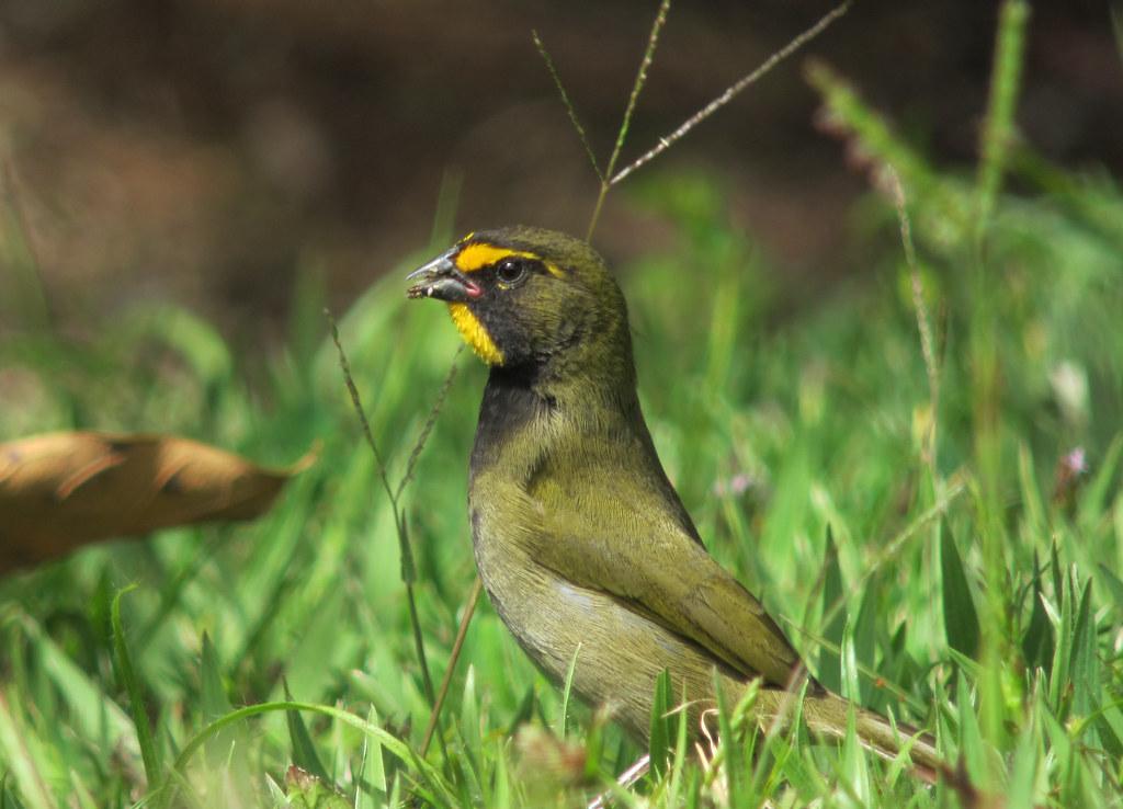 Imagen de una de las aves del Quindio: Semillero cariamarillo (Tirais olivaceus)