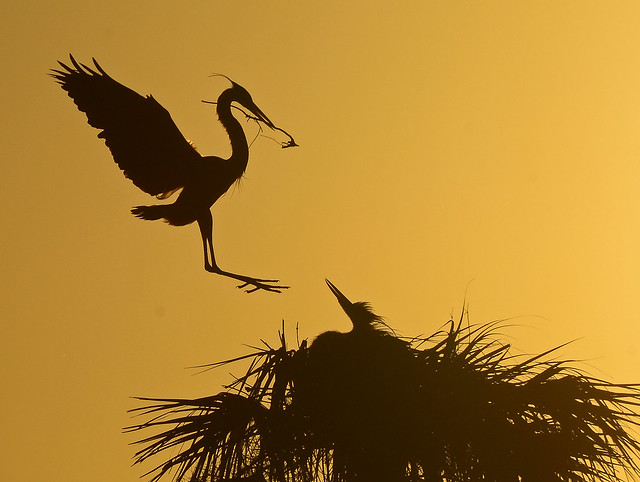 GBH Nesting activity silhouette