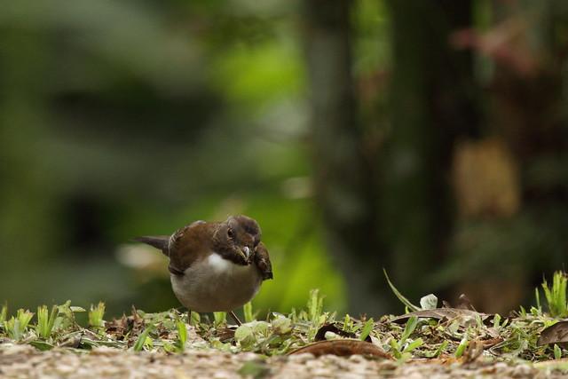white necked thrush
