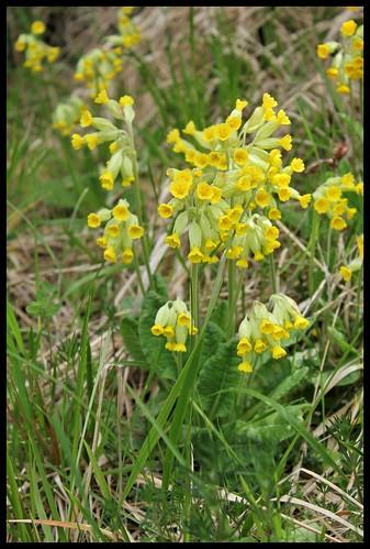 Primula officinalis (2)   by Neira Magic'B
