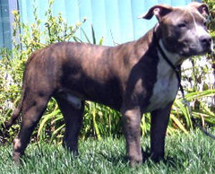 """AKC/UKC Buenos Aires Lgcy1 Bruno """"Bruno""""   by Buenos Aires Kennel"""
