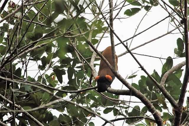 Capuchinbird at Karanambu in Guyana